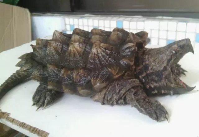 鳄龟新手喂养技巧简介